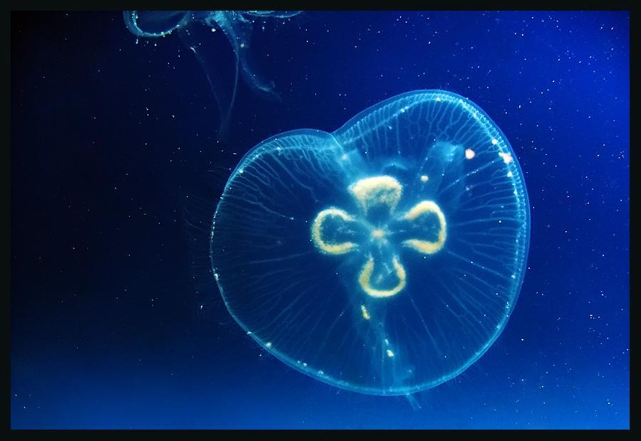 meduze preventiva