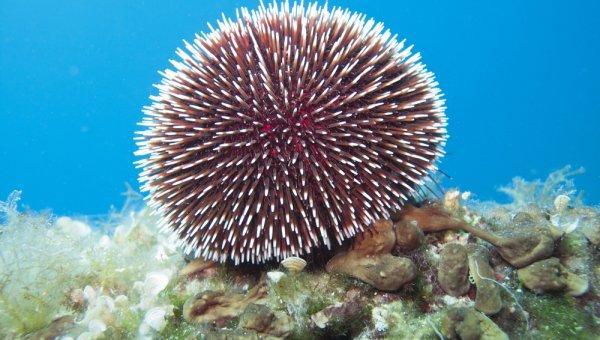 morski jezek