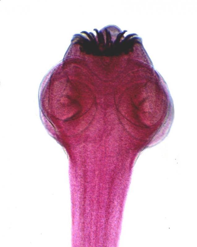 Trakulja slika svinjske trakulje