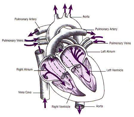 srce-zgradba-srca