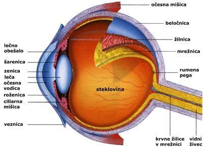 anatomija-očesa