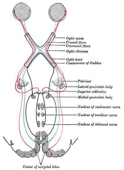 vidni-zivec-nervus-opticus